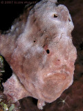 Frogfish III