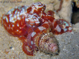 Red Octo ID?