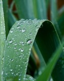 Rain Drops on Iris Leaves