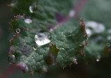 Rain Drops on a Weed