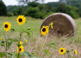 Sunflowers and Straw I
