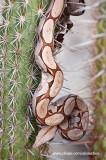 Cobra de Veado no cacto_1855