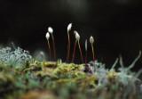 Flowering Moss - Laajavouri, Finland