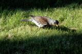 Wacholderdrossel (Krammetvogel)