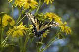 Cup-plant (Silphium perfoliatum) & Tiger Swallowtail (Papilio glaucus) 2.jpg