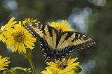 Cup-plant (Silphium perfoliatum) & Tiger Swallowtail (Papilio glaucus) 3.jpg