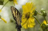 Cup-plant (Silphium perfoliatum) & Tiger Swallowtail (Papilio glaucus) 4.jpg