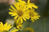 Cup-plant (Silphium perfoliatum) 5.jpg