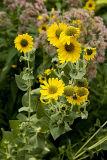 Downy Sunflower (Helianthus mollis) 2.jpg