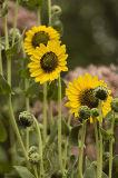 Downy Sunflower 3.jpg