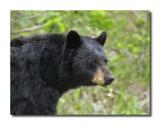 Bear closeup