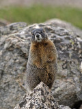 Dancing Marmot
