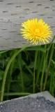 Seward Dandelion