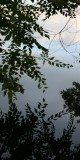 Siberian Elm, Reflected