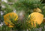 Aspen Leaves in Douglas Fir