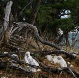 Mountain-Mahogany Forest