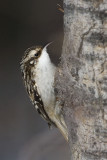 brown creeper 022007_MG_0154