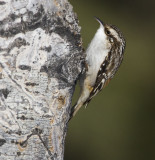 brown creeper 022007_MG_0178