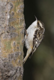 brown creeper 030207_MG_0113