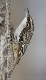 brown creeper 030707_MG_0008