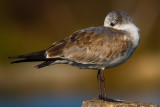 Ring Billed Gull (Juvenile)