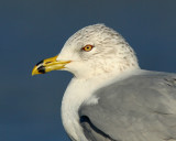 Ring-billed Gull Close Up
