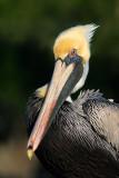 Pelican Portrait IV