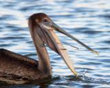 Brown Pelican Behavior