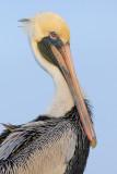 Pelican Portrait V