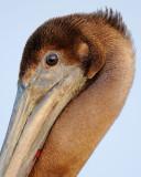 Brown Pelican Close-up