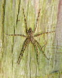 Fishing Spider III