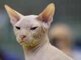 Sphinx Cat, Photography Voice