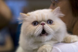 Persian Cat, PhotographyVoice