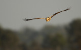 Bruine Kiekendief - Marsh Harrier