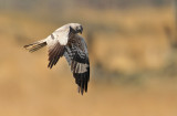 Grauwe Kiekendief - Montagu's Harrier