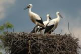 White stork - Ciconia ciconia
