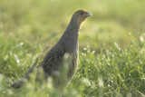 Grey partridge - Perdix perdix