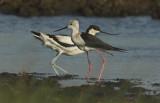 Black-winged stilt (with Avocet) - Himantopus himantopus