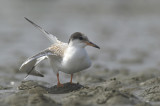 Common tern Juvenile - Sterna hirundo