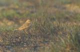 Tawny pipit - Anthus campestris, Kalmthoutse Heide 23/09/07