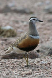 Dotterel on the Cairngorm plateau near top of  Cairn Lochan