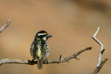 Acacia Pied Barbet, Erongo Wilderness Lodge