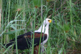 African Fish Eagle, near Shakawe Lodge, Botswana