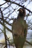 African Grey Hornbill, Etosha NP