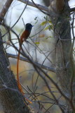 African Paradise Flycatcher, Popa Falls, Caprivi
