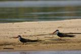 African Skimmer, Kavango River, Namibia
