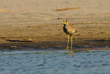 African Wattled Lapwing, Kavango River at Shamvura Lodge