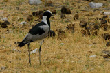 Blacksmith Lapwing, Okakuejo Camp, Etosha National Park