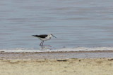 Black-winged Stilt, Walvis Bay