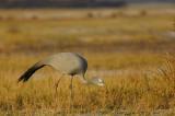 Blue Crane, Etosha NP
